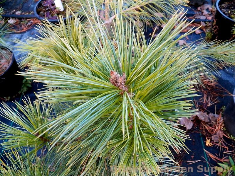 Pinus peuce 'Nana'