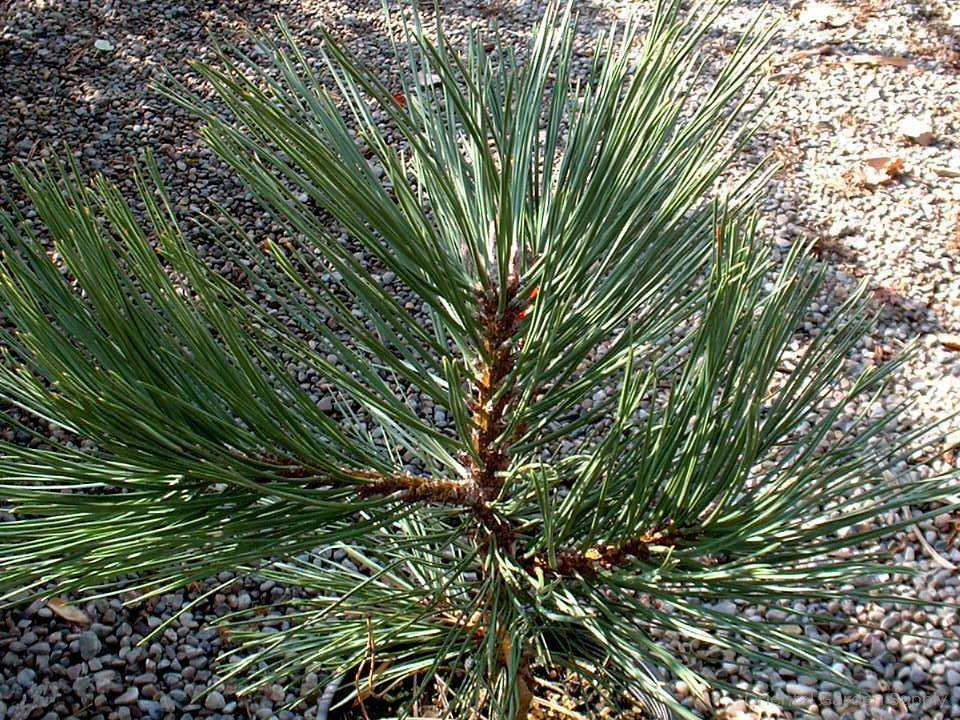 Pinus ponderosa 'Morris WB'