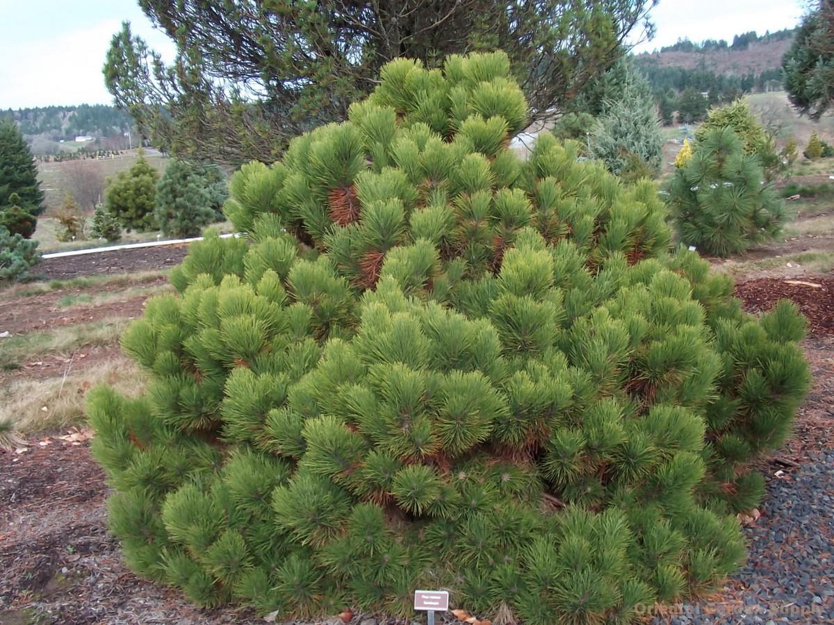 Pinus resinosa 'Quinobequin'
