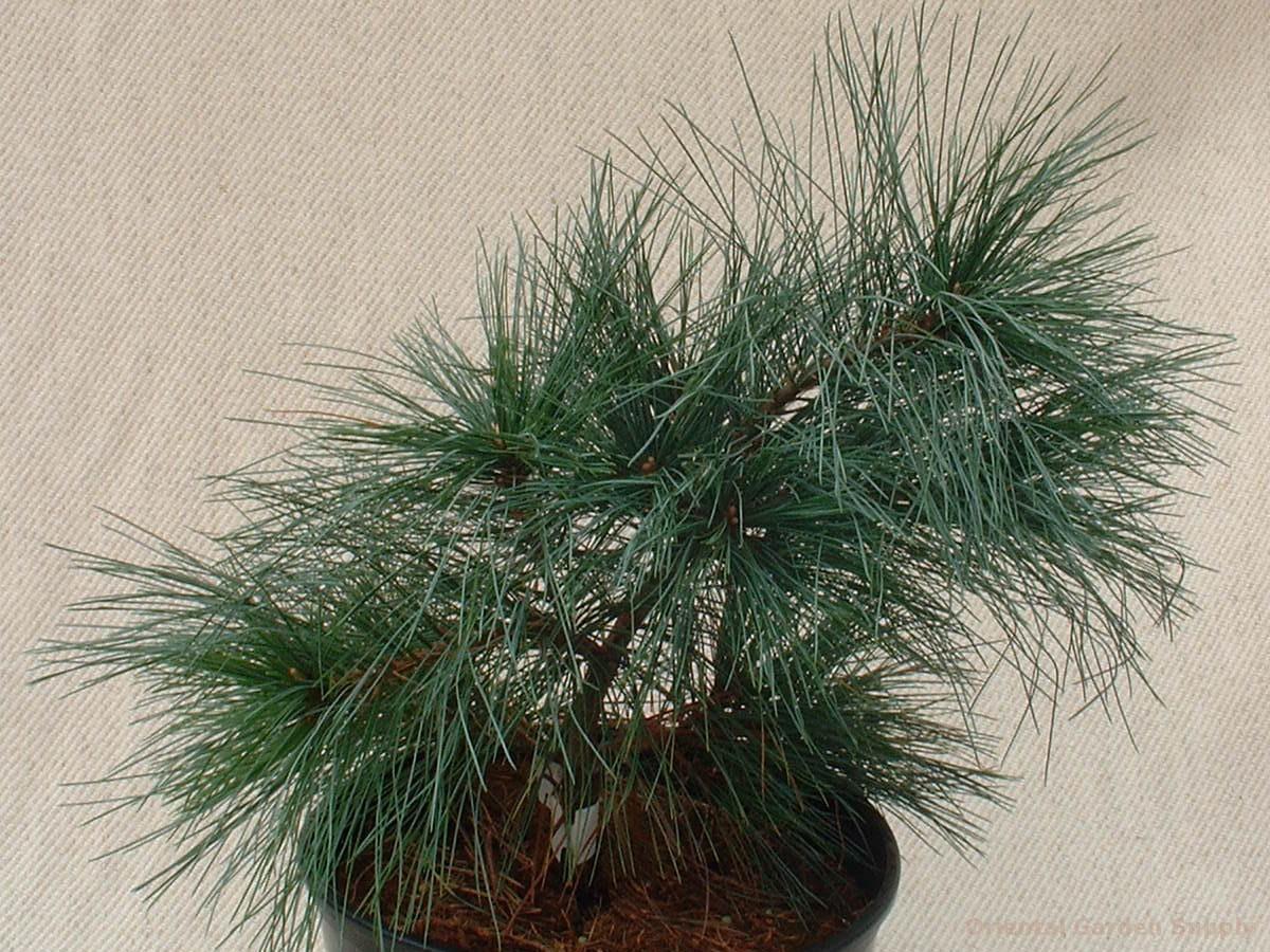Pinus strobus 'Joe Libbee'