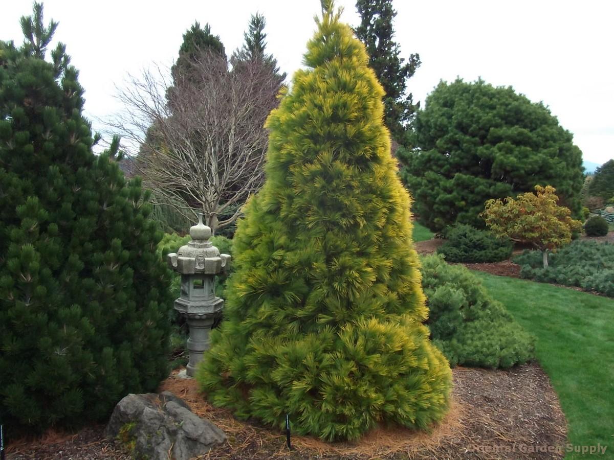 Pinus strobus 'Louie'