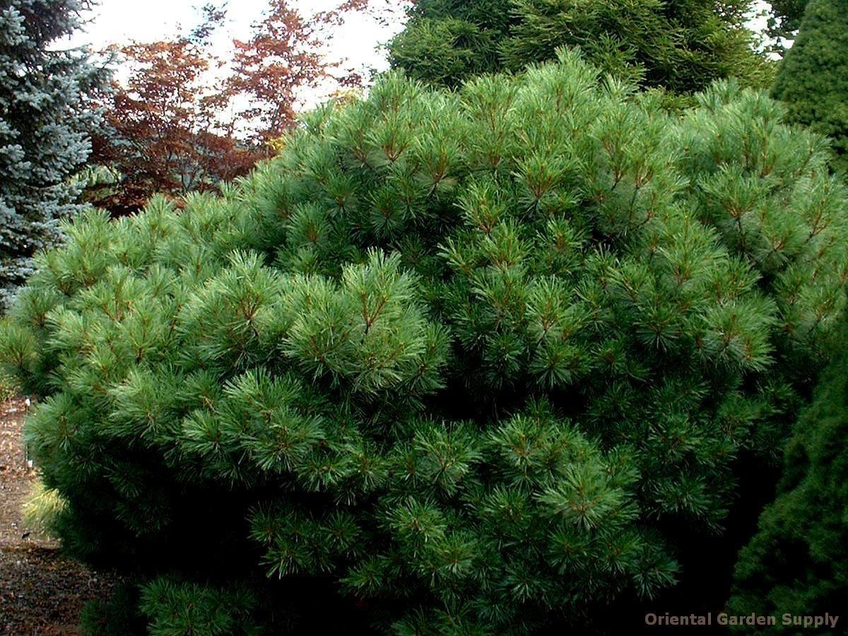 Pinus strobus 'Merrimack'