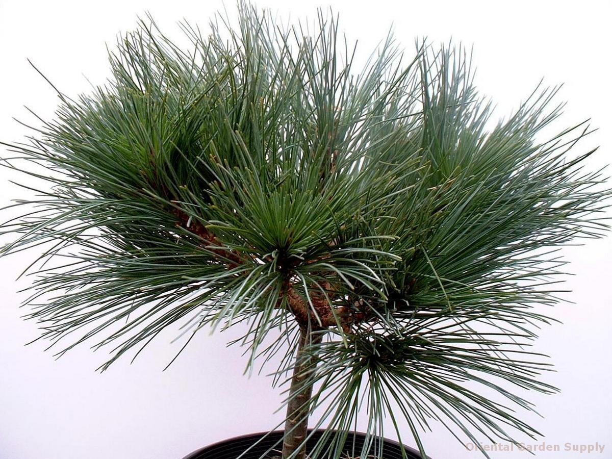 Pinus strobus 'Umbraculifera'