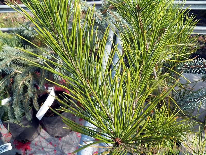 Pinus strobus 'Bennett Clump Leaf'
