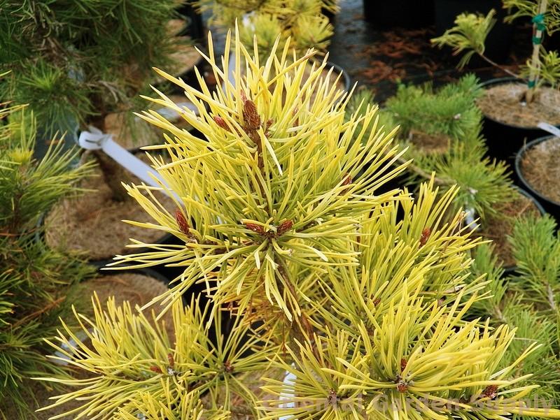 Pinus sylvestris 'Gold Coin'
