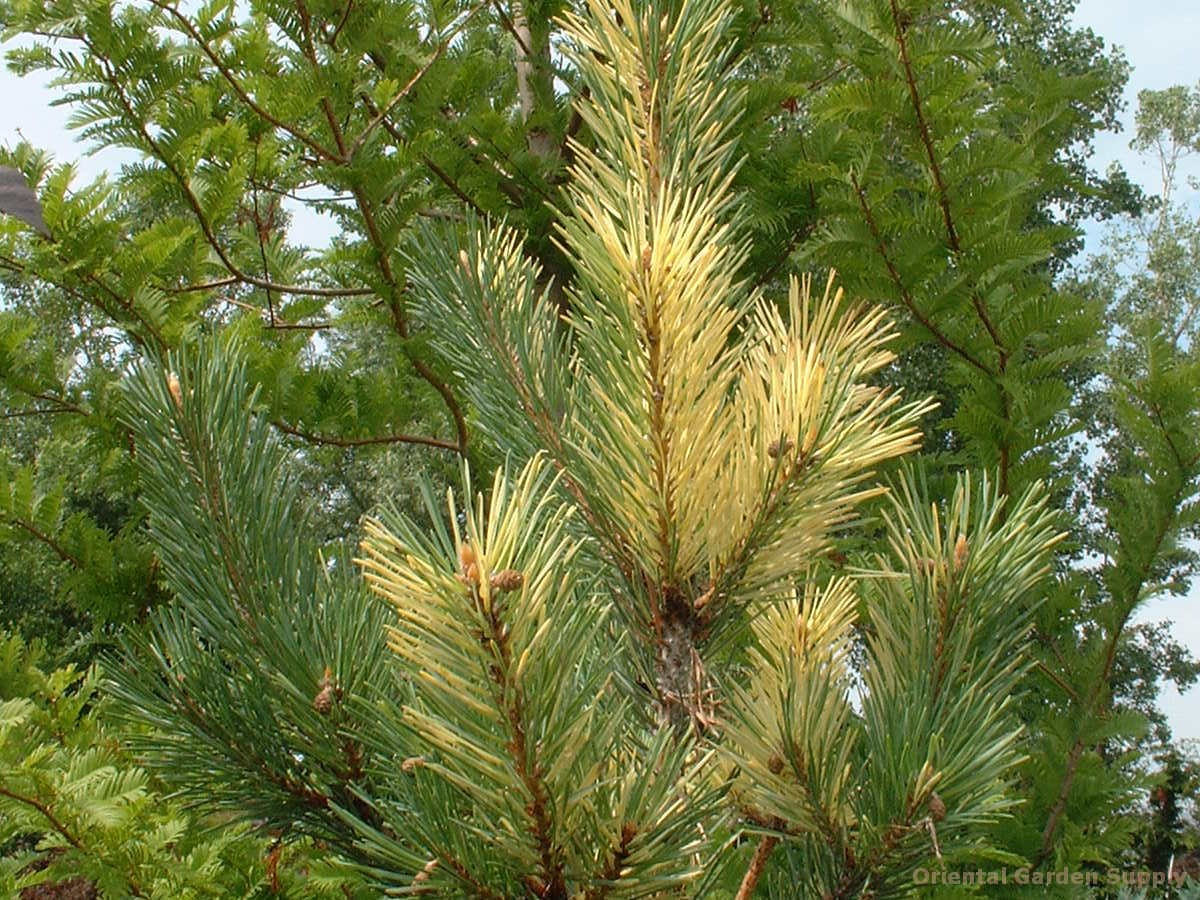 Pinus sylvestris 'Greg's Friend'
