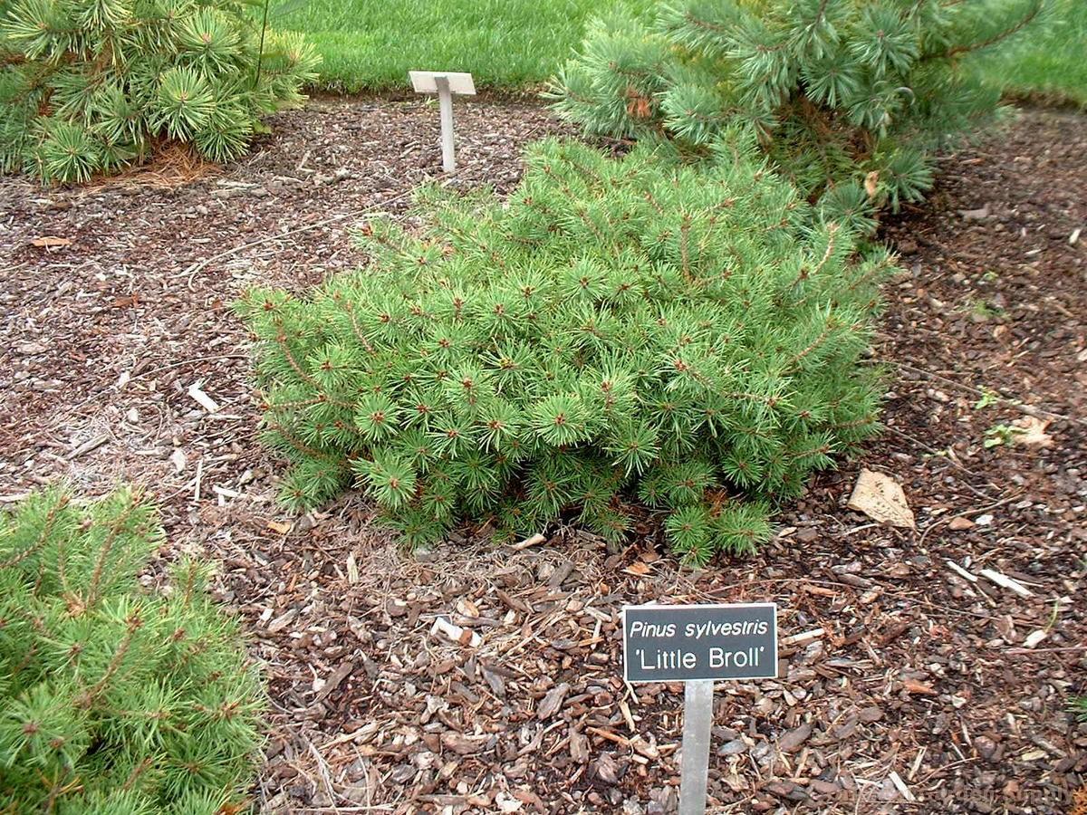Pinus sylvestris 'Little Brolly'