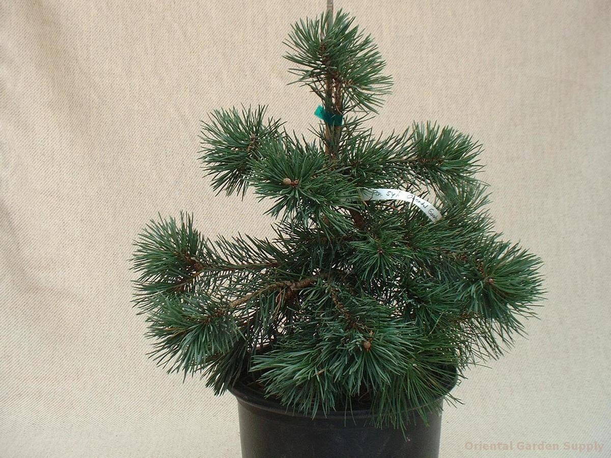 Pinus sylvestris 'Oriental DE1'