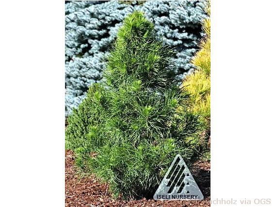 Pinus sylvestris 'Slim Jim'