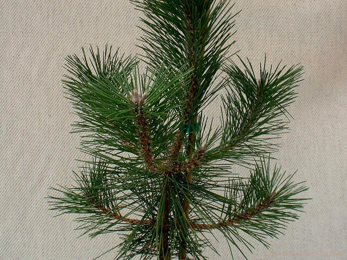 Pinus thunbergiana 'Banshosho'