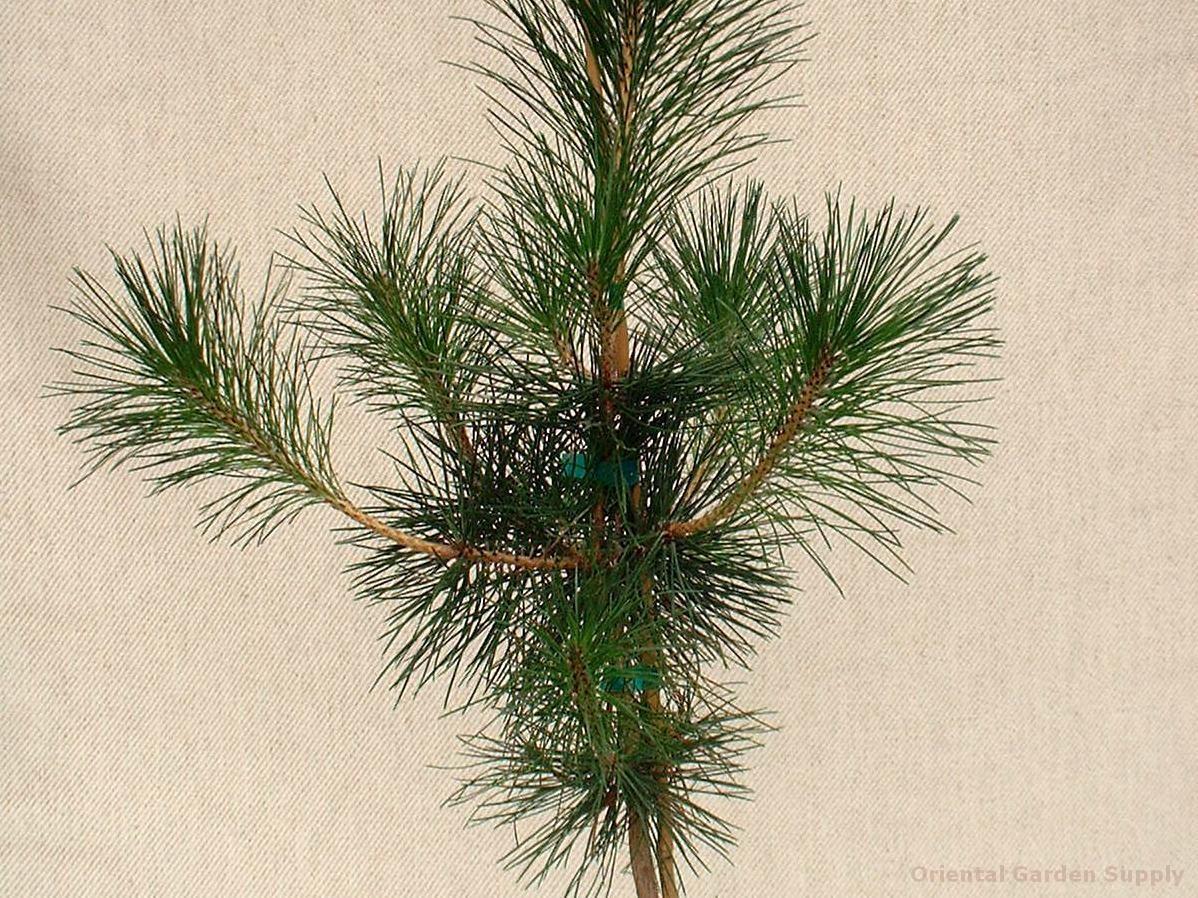 Pinus thunbergiana 'Mikawa'