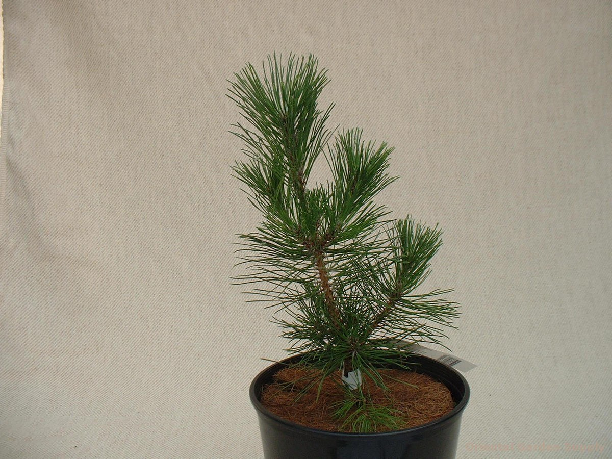 Pinus thunbergiana 'Mini Mounds'