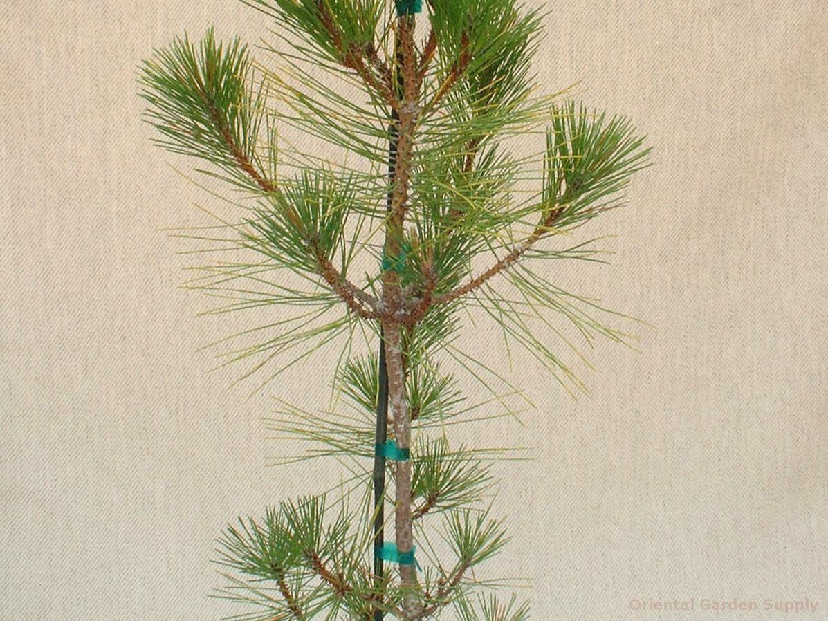 Pinus thunbergiana 'Torafu matsu'