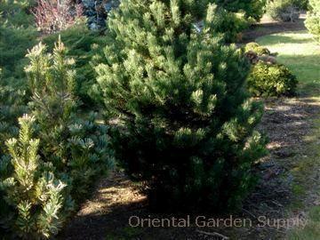 Pinus uncinata 'La Cabinase'