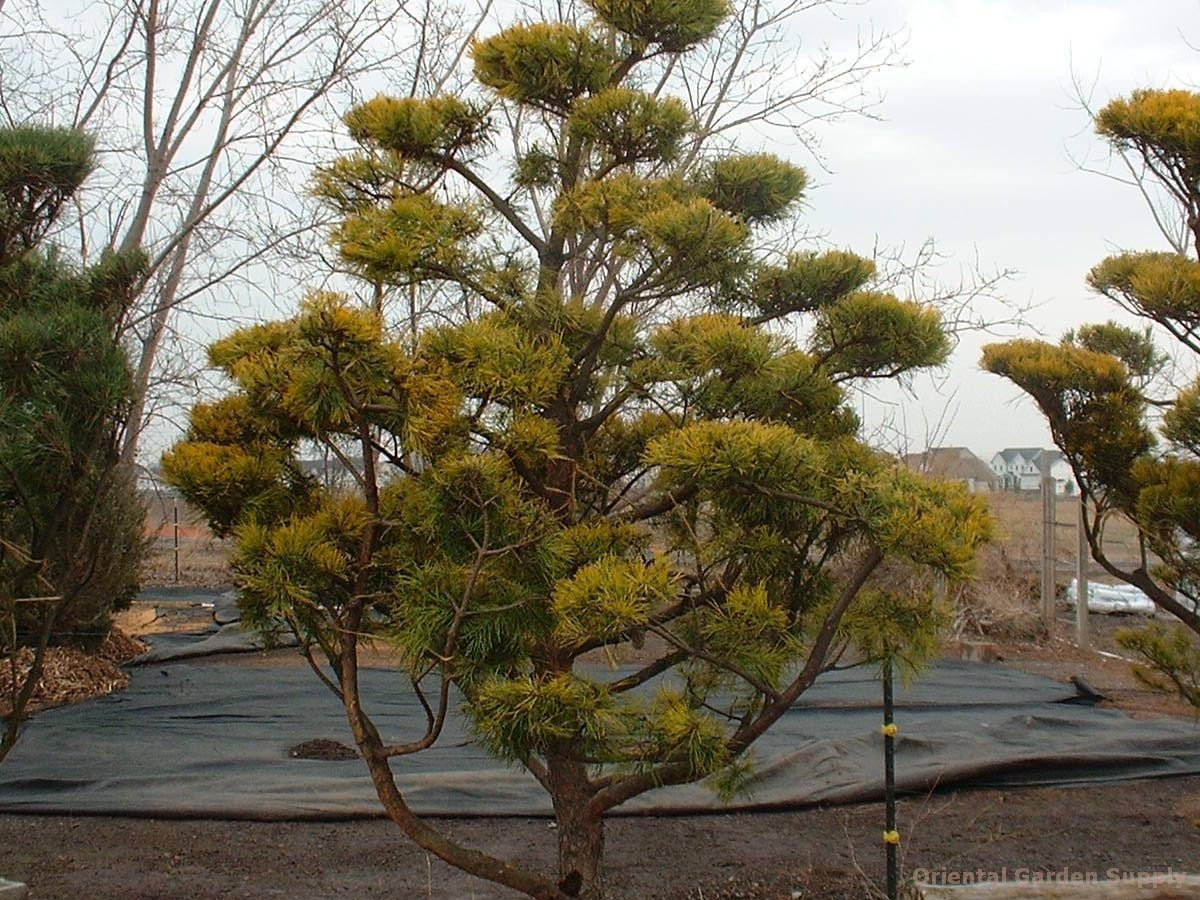 Pinus virginiana 'Wate's Golden'