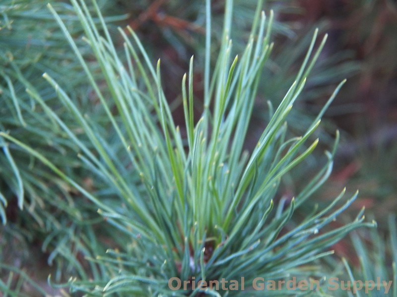 Pinus strobus 'Diggy'