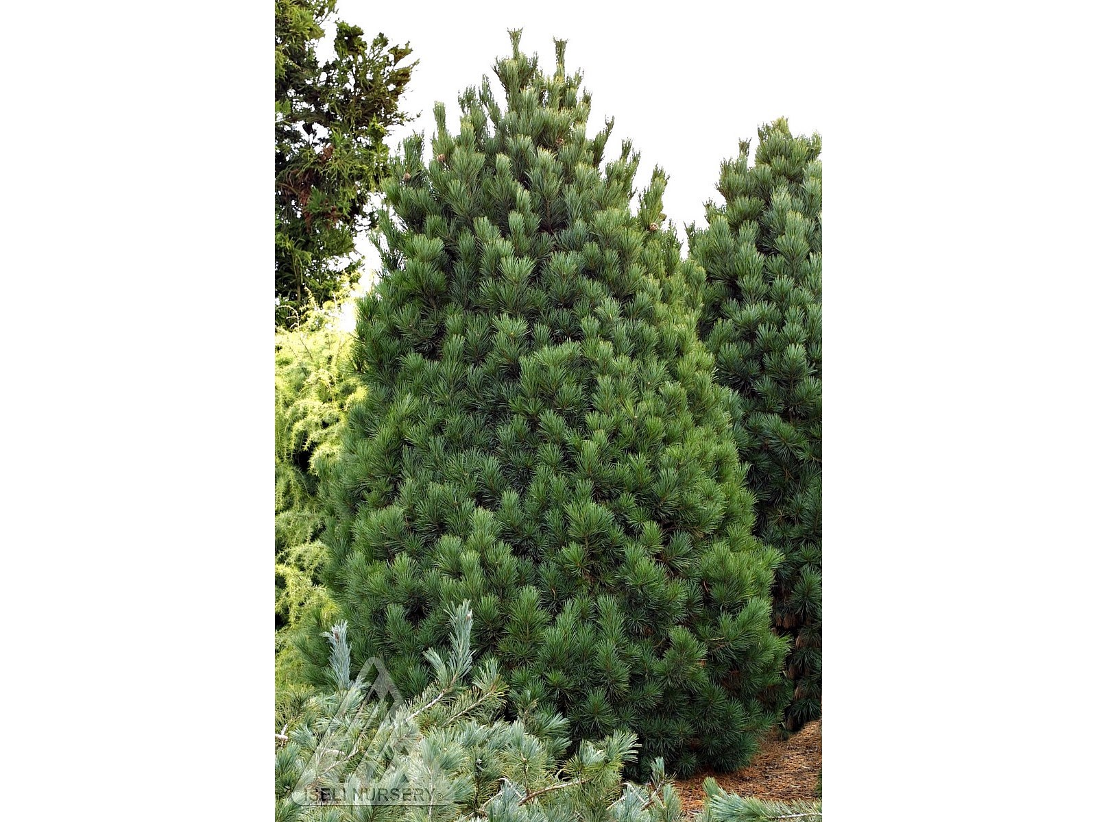 Pinus cembra 'Nana'