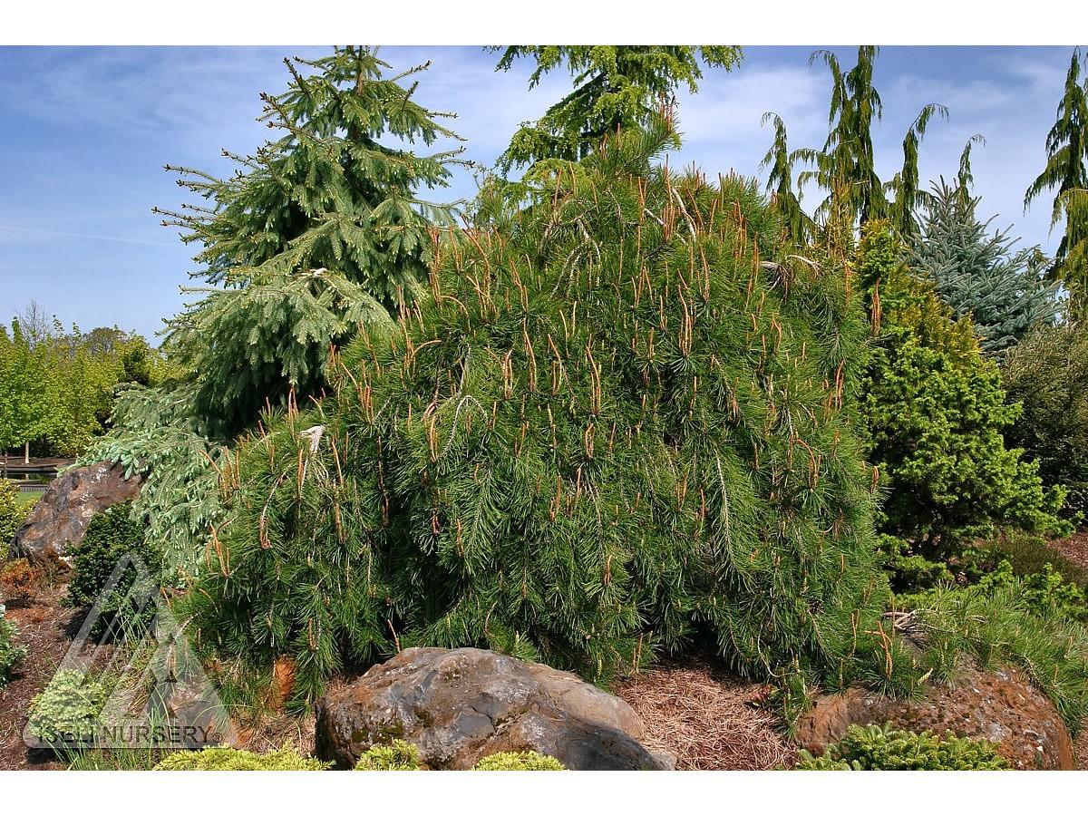 Pinus densiflora 'Pygmy'