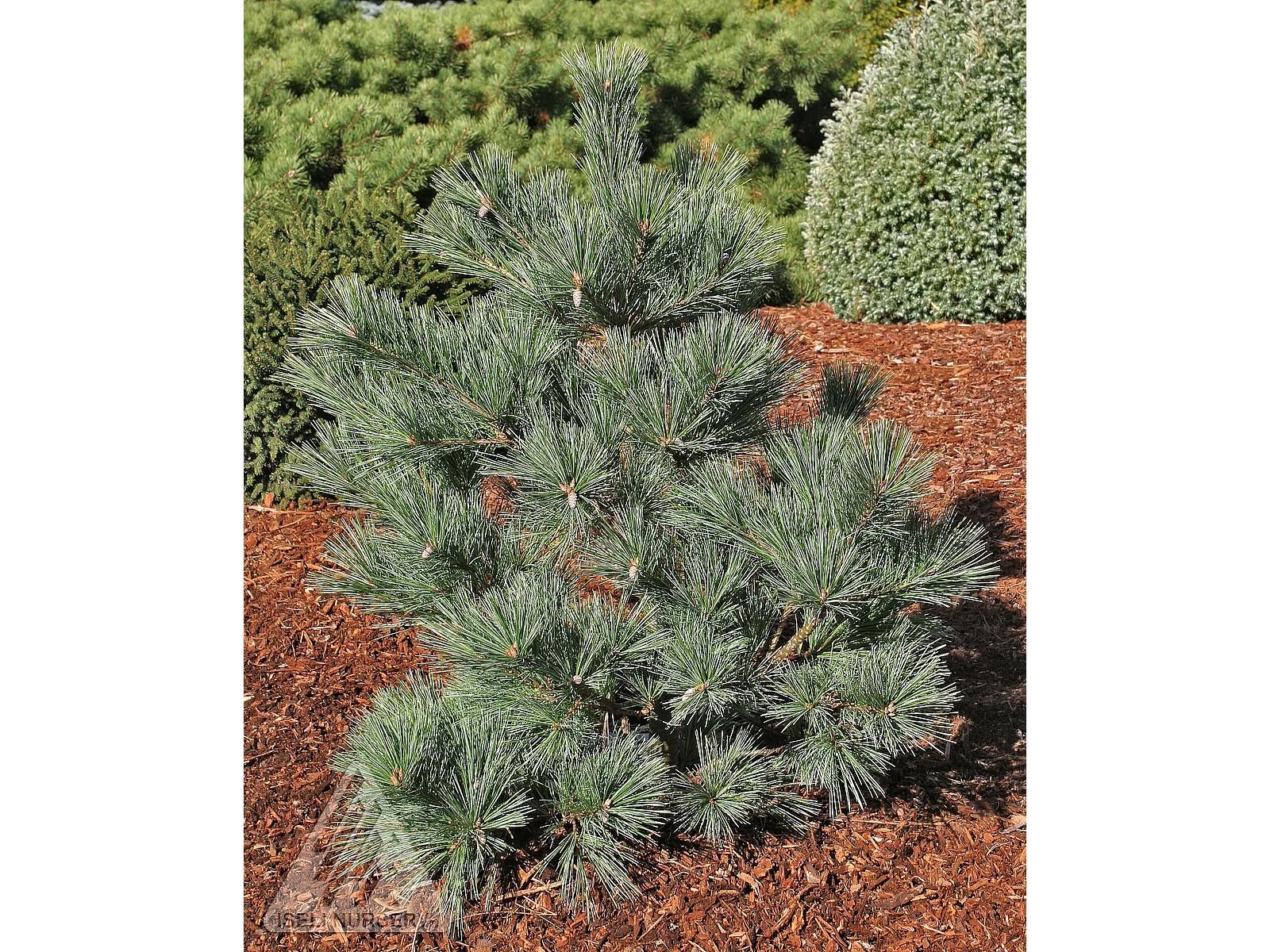 Pinus strobus 'Macopin'