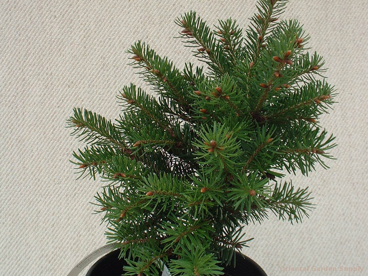 Pseudotsuga menziesii 'Tingle #73'