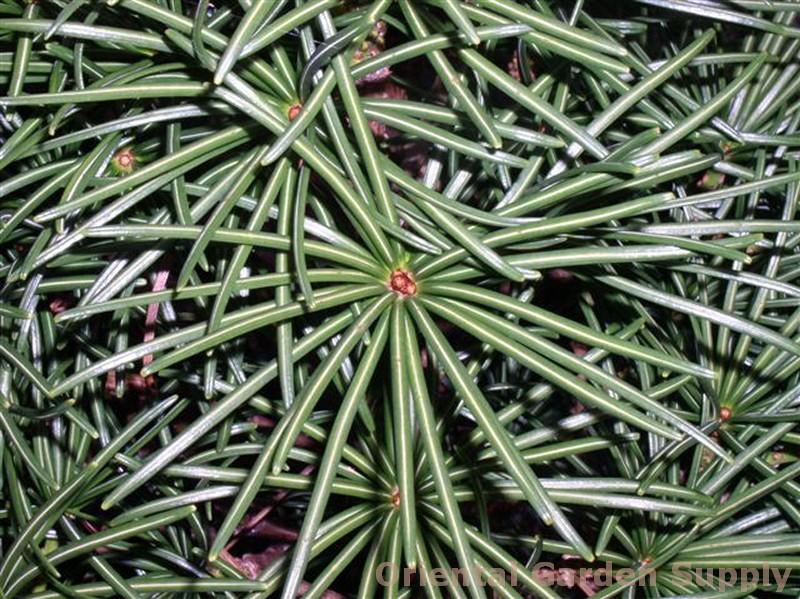 Sciadopitys verticillata 'Stripes'