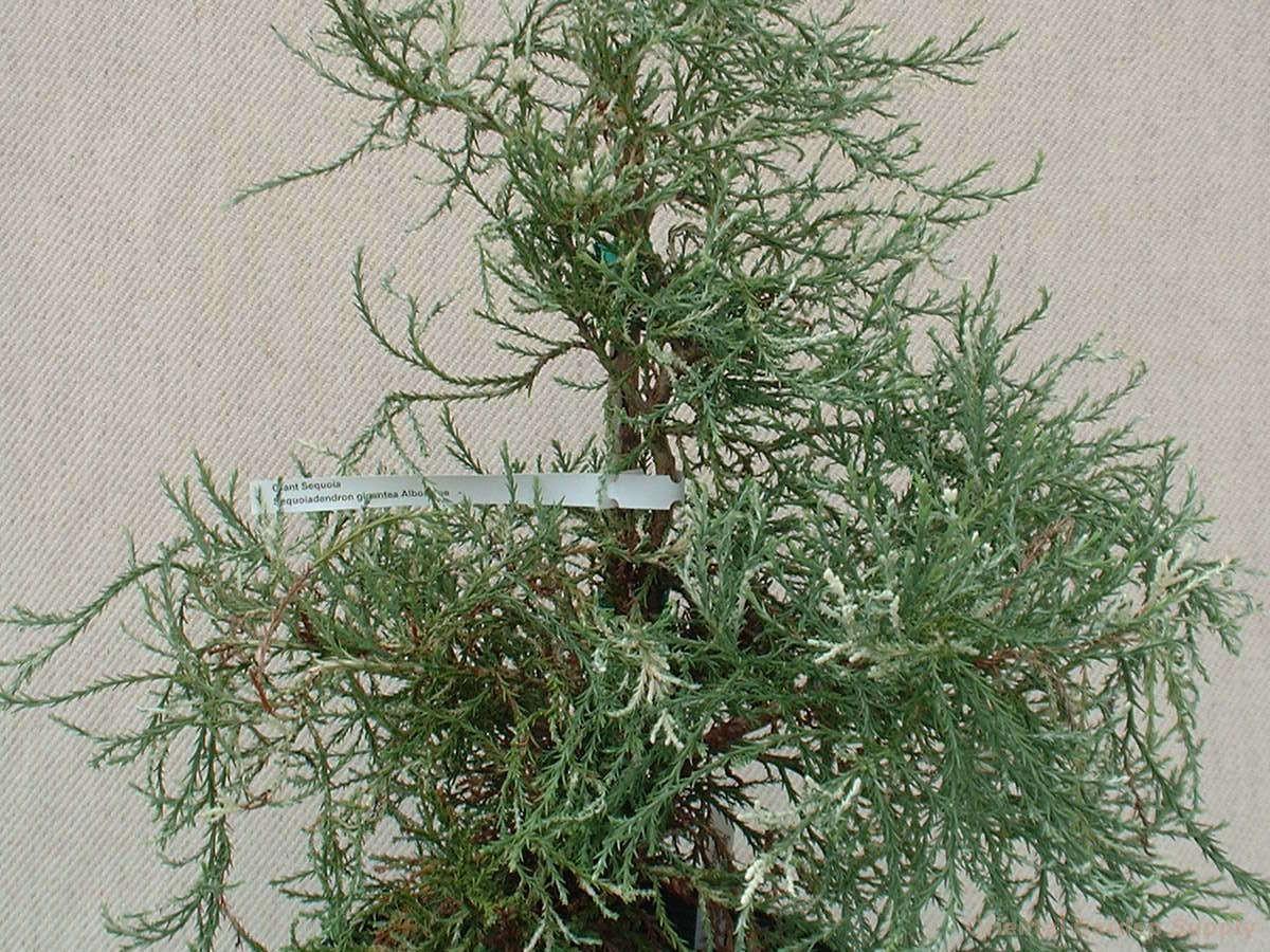Sequoiadendron giganteum 'Albospica'