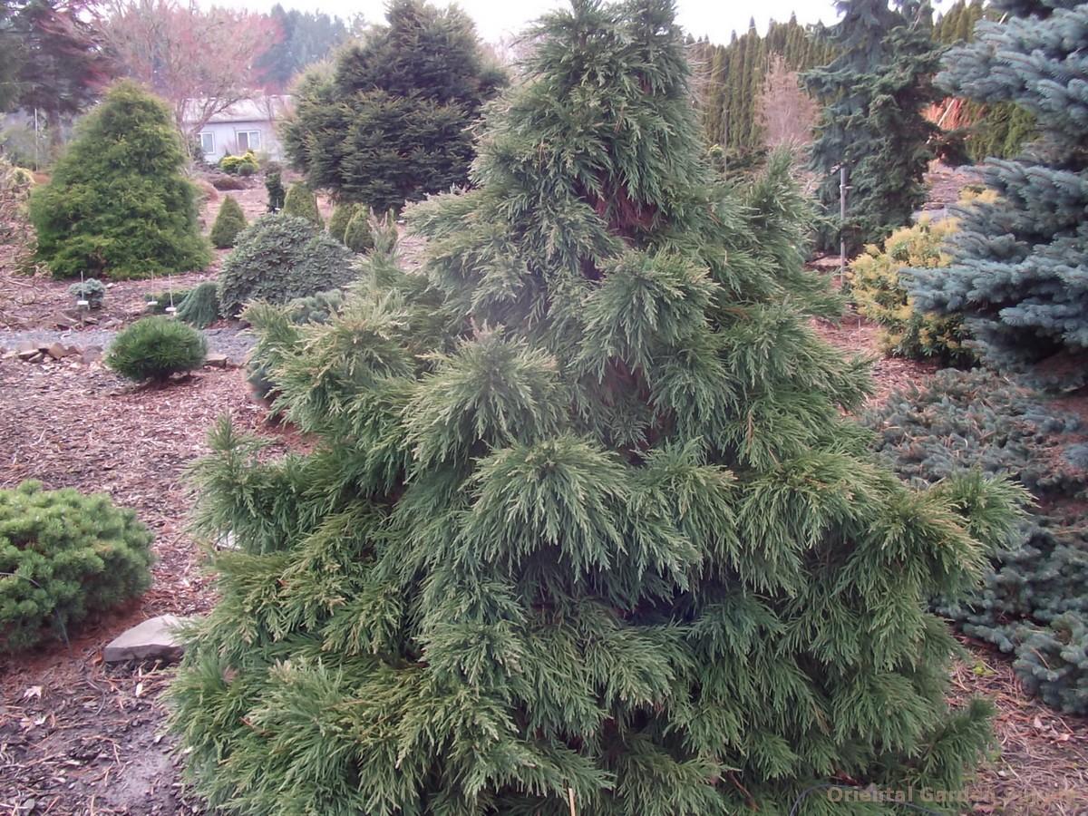 Sequoiadendron giganteum 'Blauer Eichzwerg'