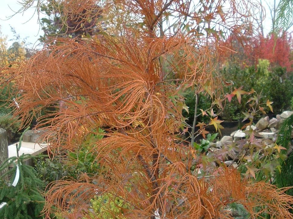 Taxodium ascendens 'Debonair'