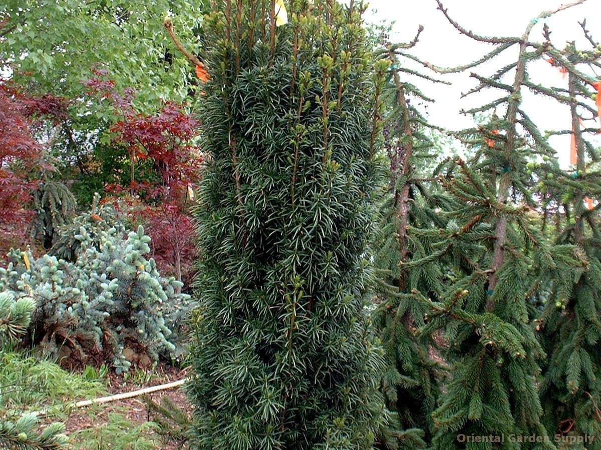 Taxus baccata 'Stricta'