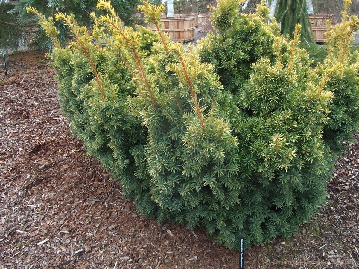 Taxus cuspidata 'Bright Gold'