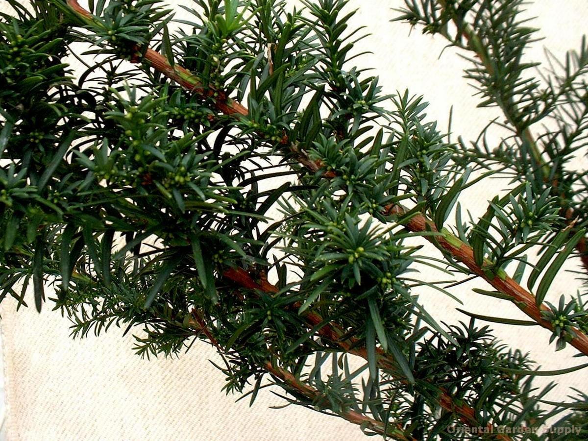 Taxus cuspidata 'Winston Peters'