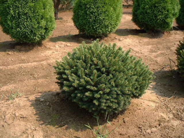 Thuja occidentalis 'Little Gem'