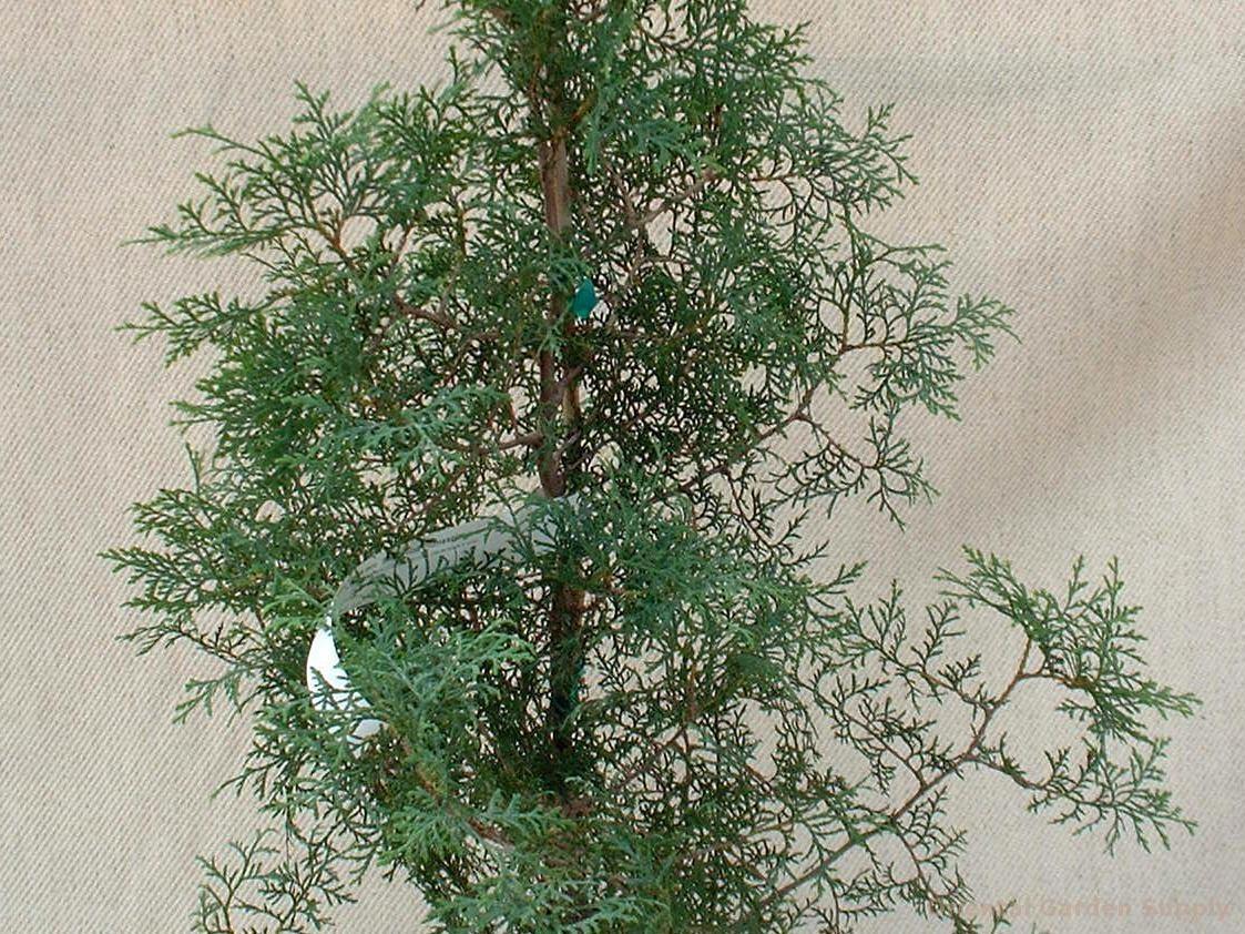 Thuja occidentalis 'Sherwood Plumespire'
