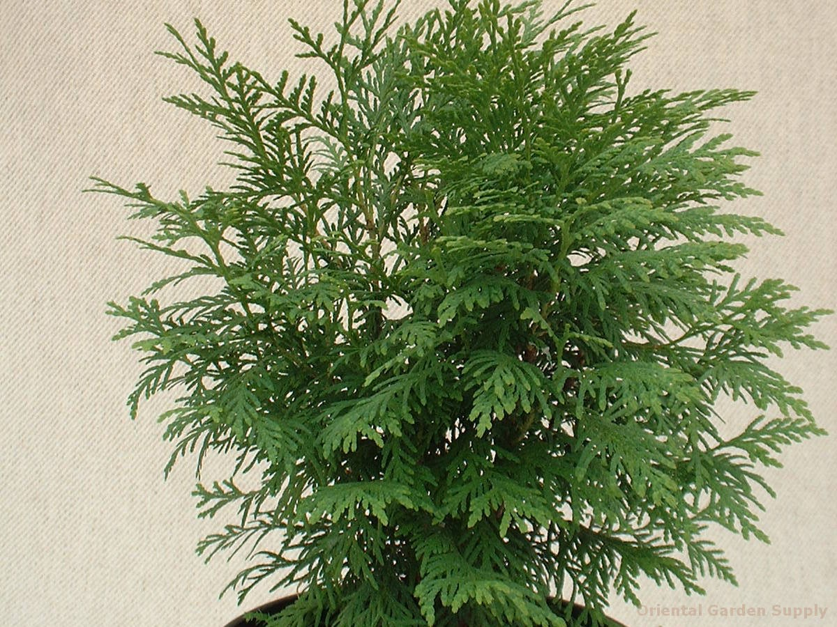 Thuja occidentalis 'Woodward Globe'