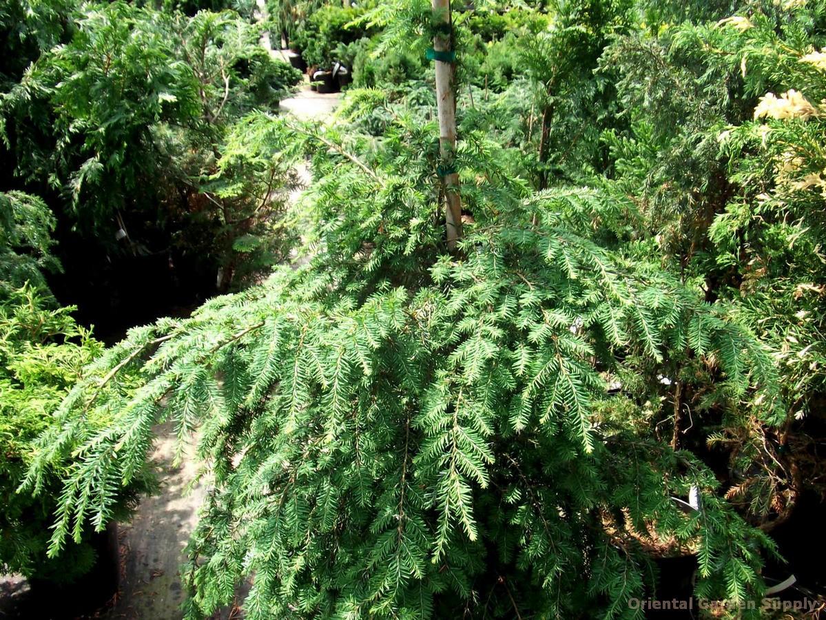 Tsuga canadensis 'Emerald King'