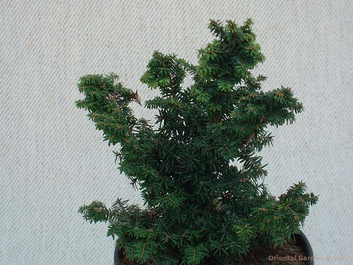 Tsuga canadensis 'Hussi'