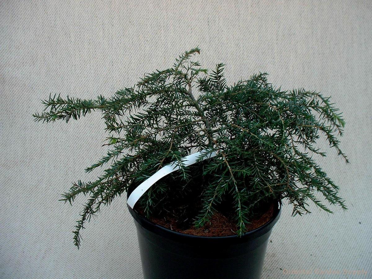 Tsuga canadensis 'Pendula Nana'