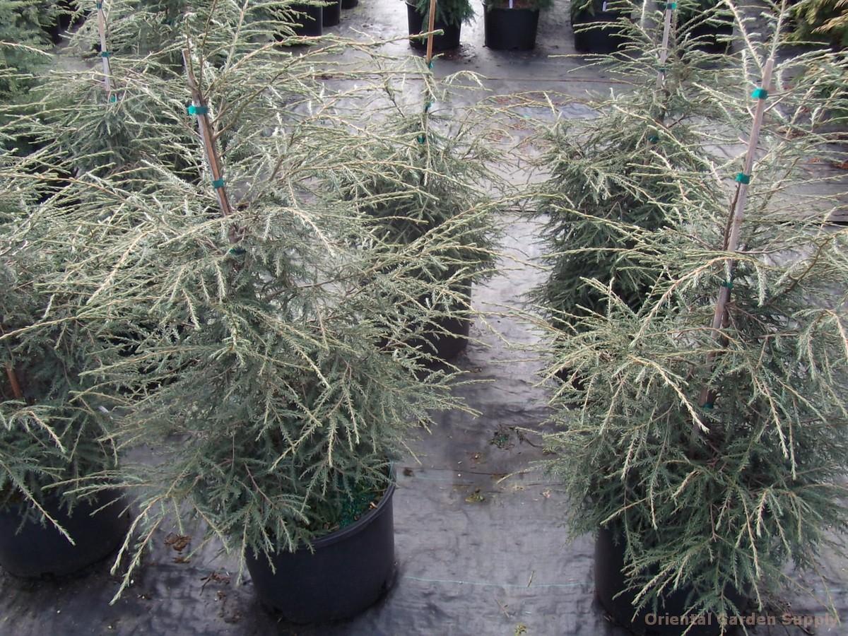 Tsuga canadensis 'Slenderella'