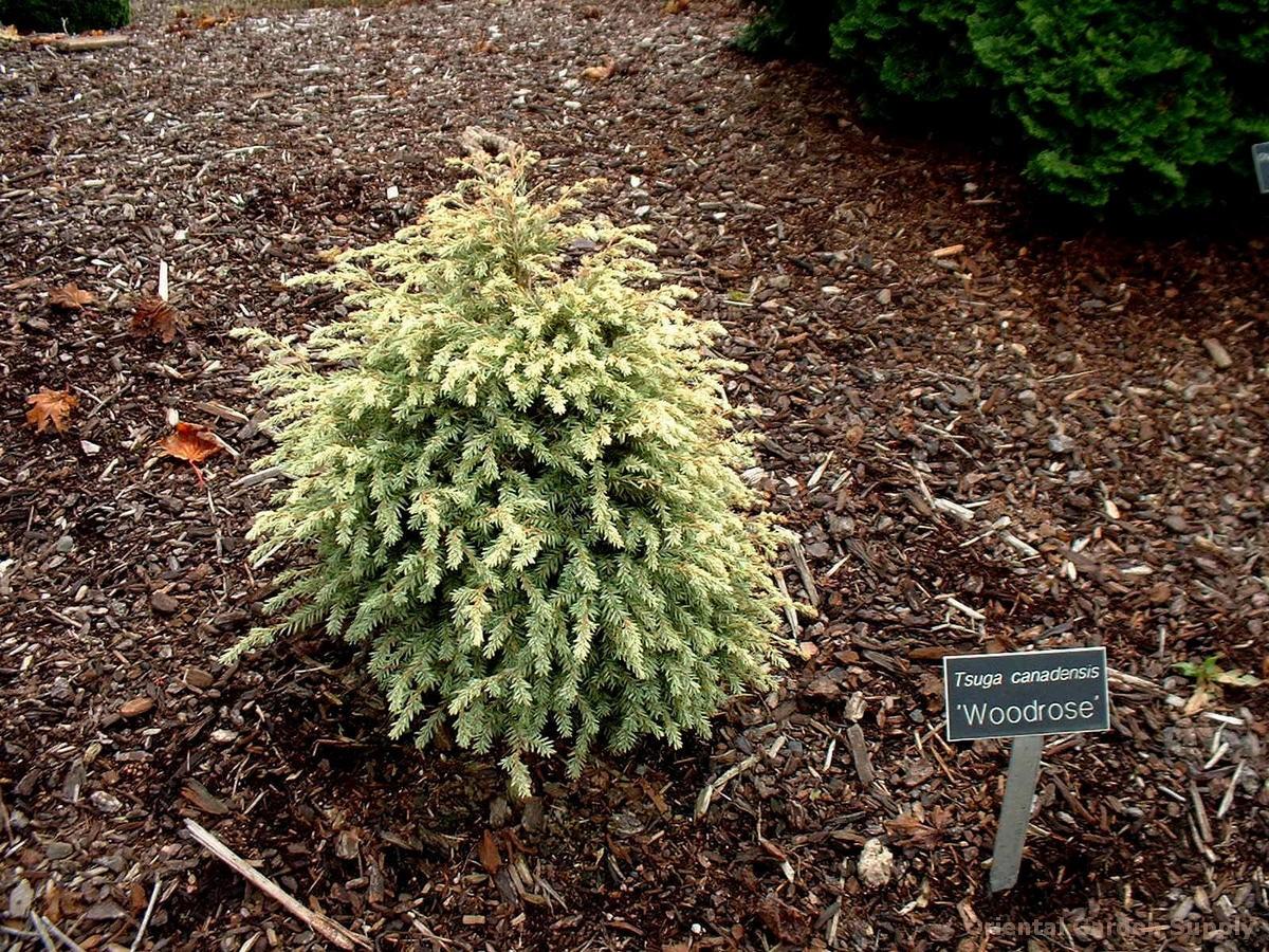 Tsuga canadensis 'Woodrose'