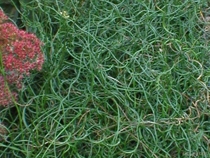 Juncus effusus 'Spiralis' - Oriental Garden Supply LLC