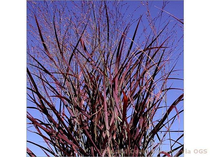 Panicum virgatum 'Hot Rod'