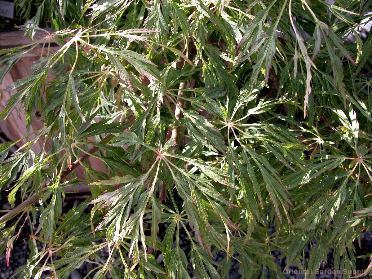 Acer japonicum 'Ao jutan'