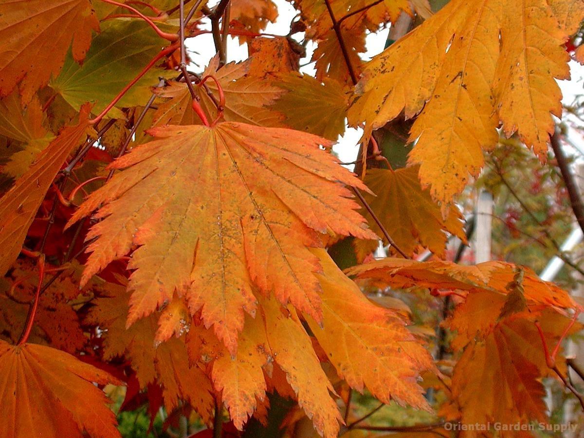 Acer japonicum 'Emmett's Pumpkin'