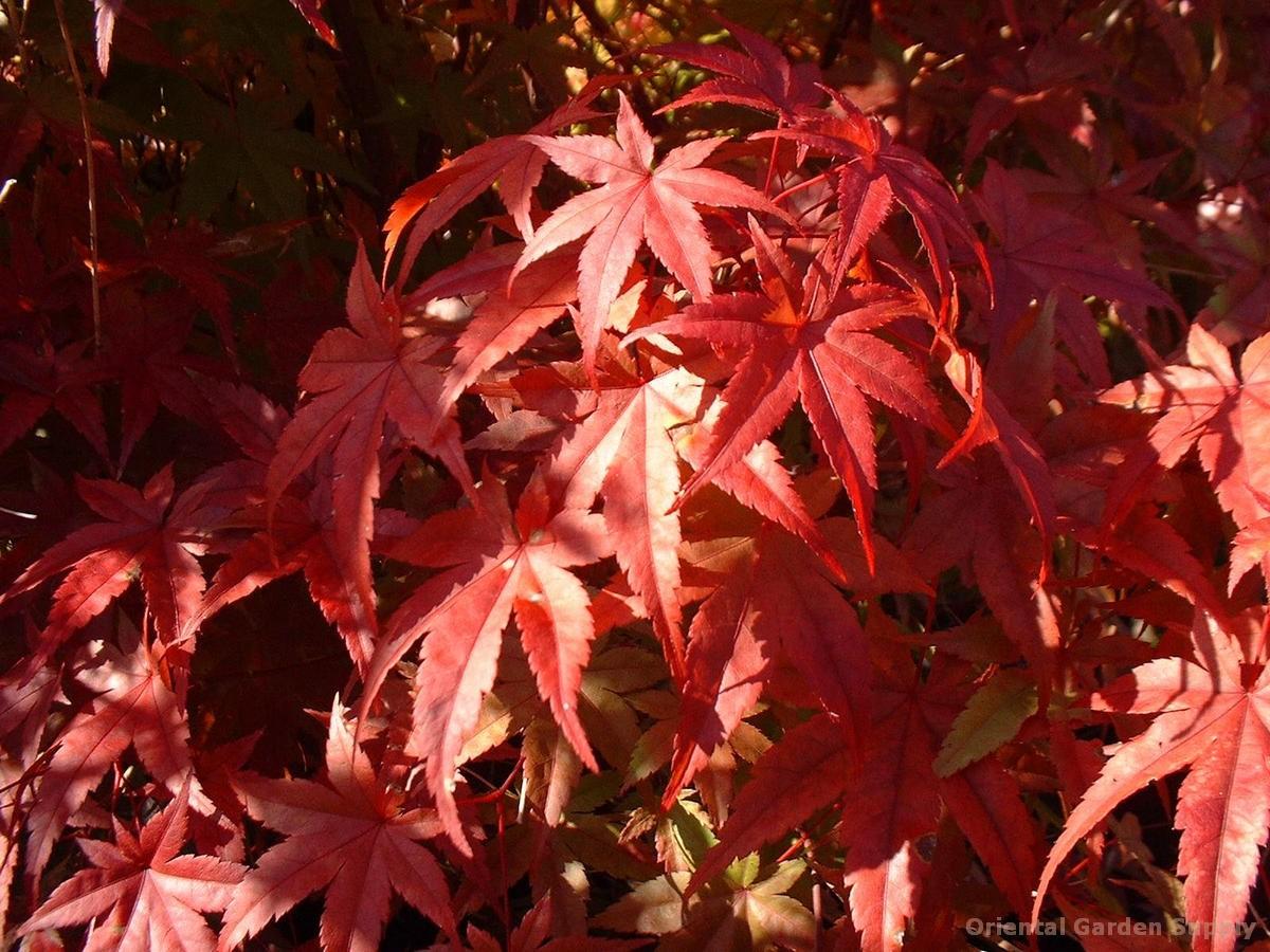 Acer palmatum 'Beni tsukasa'