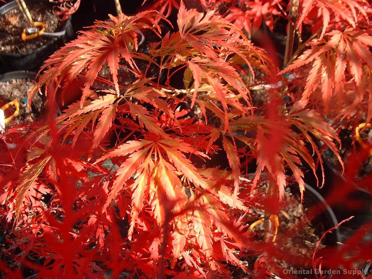 Acer palmatum 'Crimson Carole'