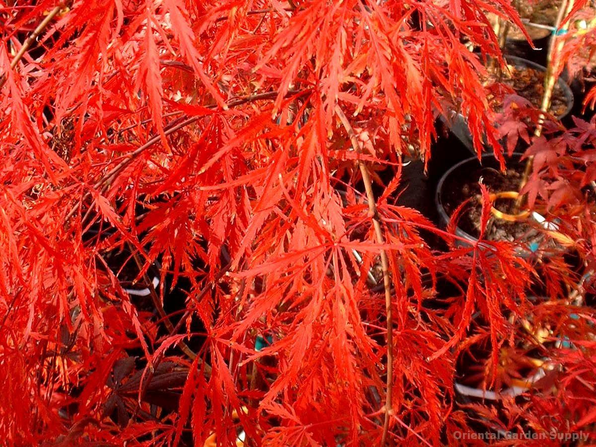 Acer palmatum dissectum 'Brocade'