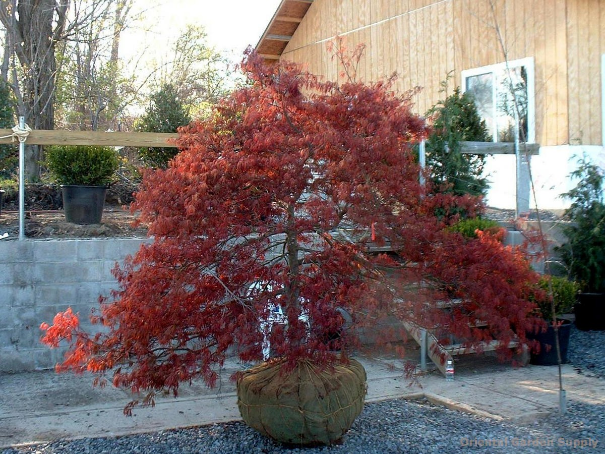 acer palmatum dissectum 39 garnet 39 oriental garden supply llc. Black Bedroom Furniture Sets. Home Design Ideas