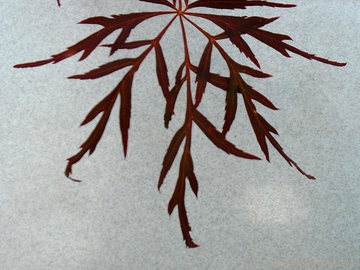 Acer palmatum dissectum 'Lionheart'