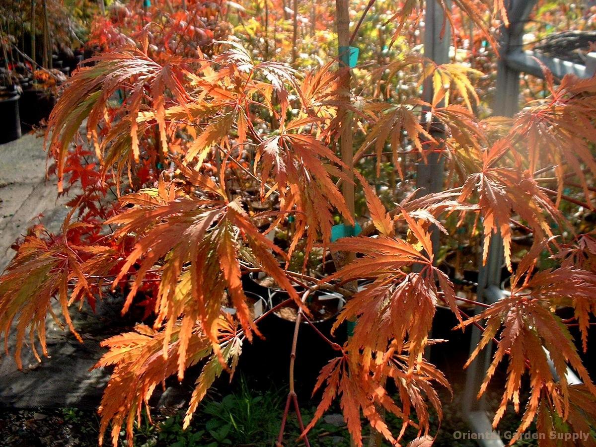 Acer palmatum dissectum 'Paucum'