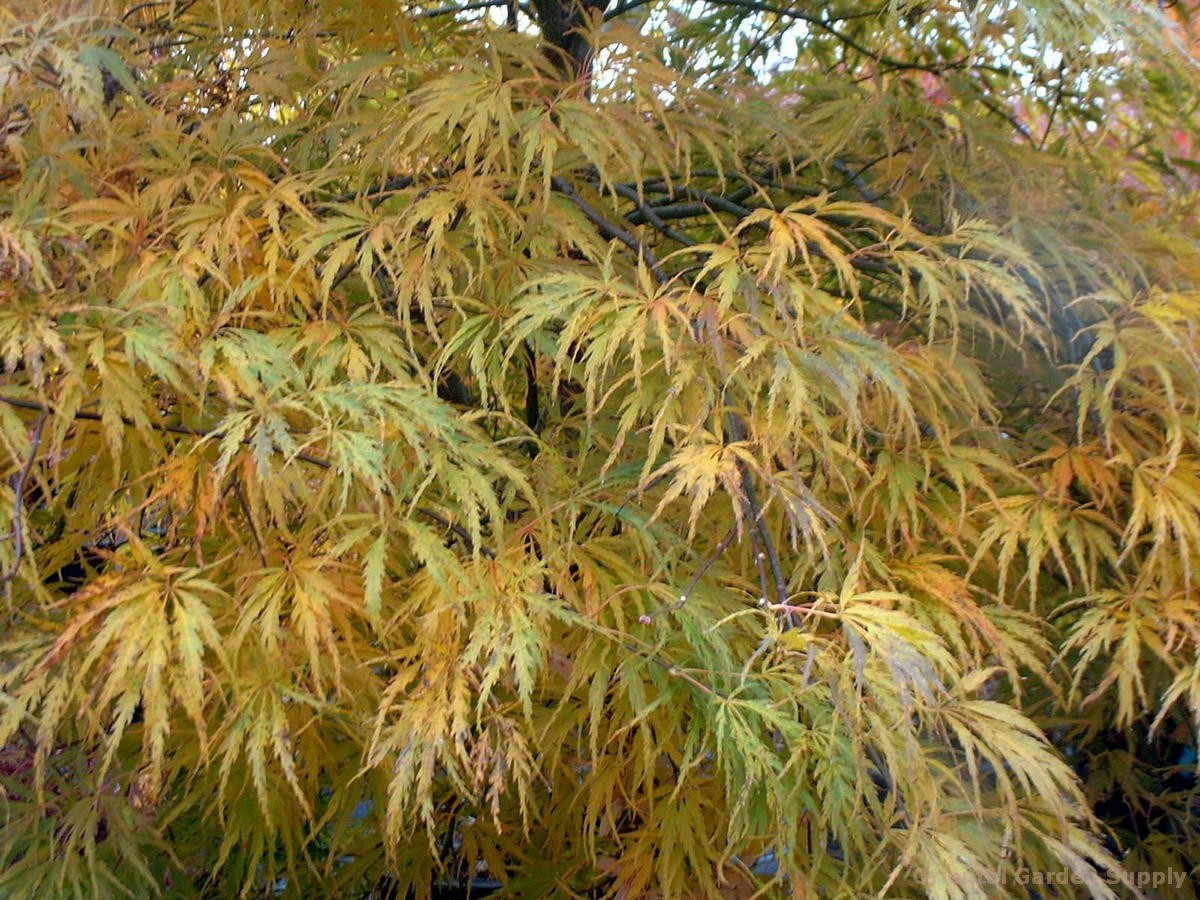 Acer palmatum dissectum 'Pink Lace'